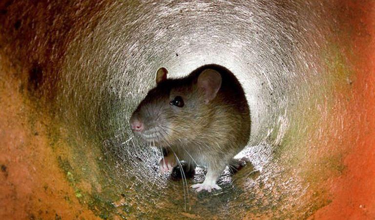 крысы, здоровье, экология