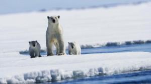 белые медведи, арктика, Роснефть