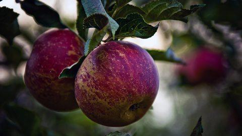 В Россию перестали завозить яблоки из Польши