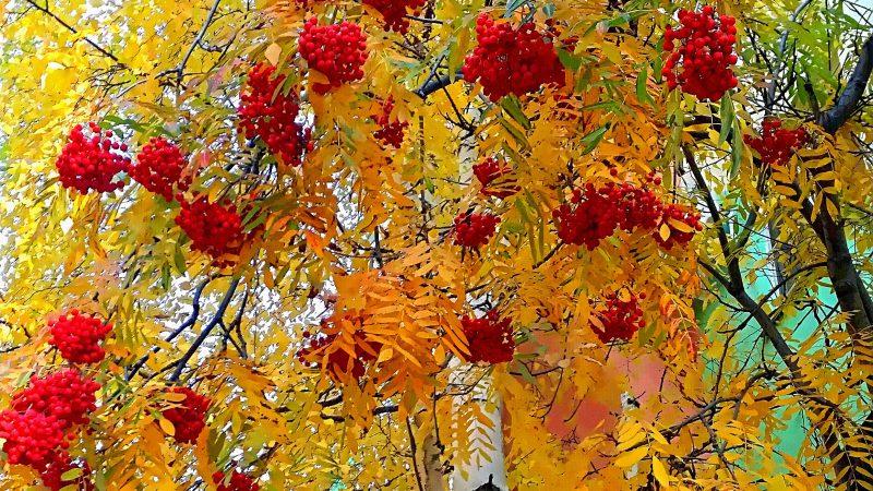 рябина, осень