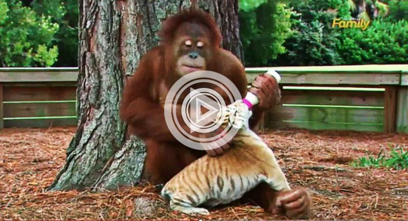 тигр, орангутанг,