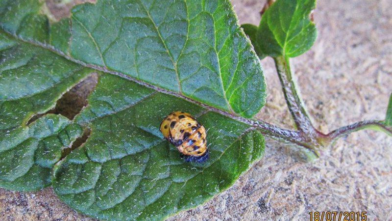 колорадский жук, вредитель, насекомое