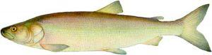 Нельма - Stenodus leucichthys nelma