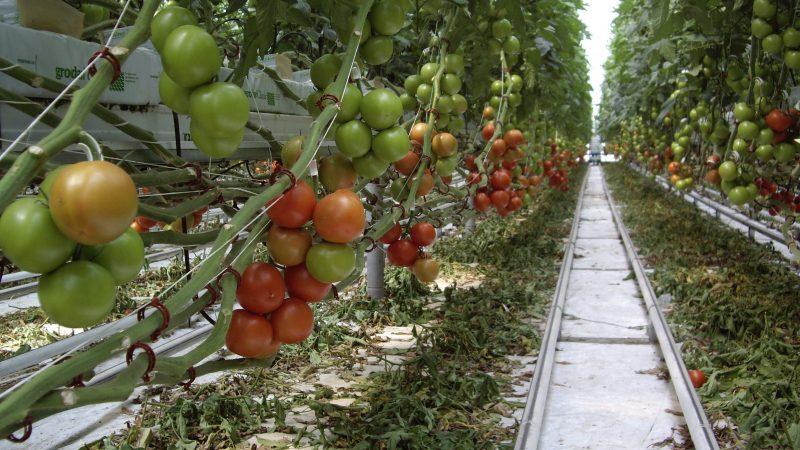 теплица, помидоры, овощи, еда
